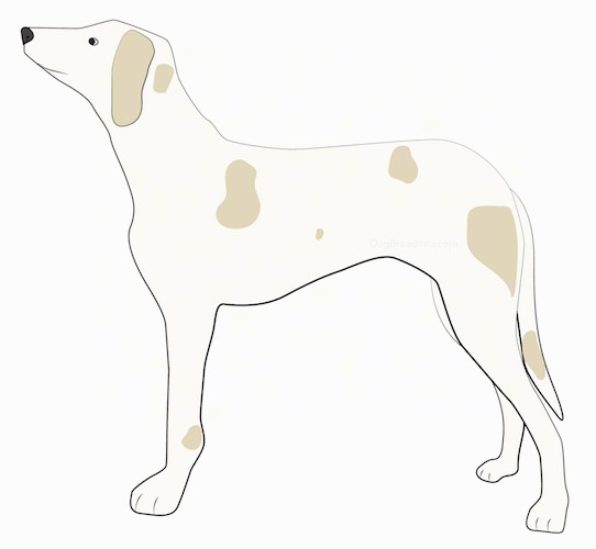 Side view - A tan with darker tan spots thin, hound looking hunting dog with a long pointy snout, long drop ears, dark eyes, a black nose and long legs with a long tail standing.
