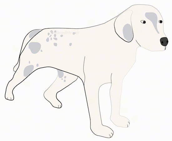A drawing of a tan with gray hound looking dog with long ears that hang down to the sides, a black nose, a long tail that is being held low and almond shaped eyes.