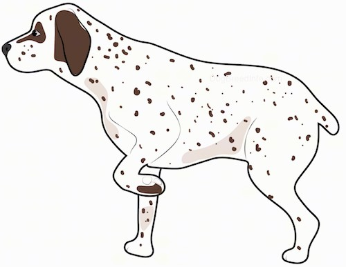 Side view of a white hunting dog with brown spots and brown ears with brown around his eyes and a black nose with one paw up in the air pointing.