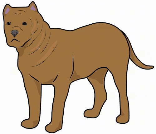 A drawing of a brown thick, muscular, extra-skinned dog with small pointy cropped ears, a black nose and dark eyes with a short square muzzle standing.