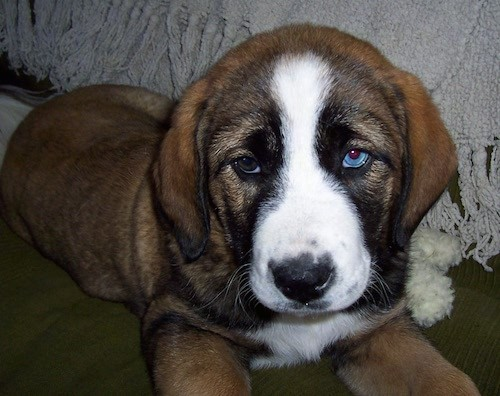 A thick, extra skinned droopy looking puppy with long ears that hang down to the sides, one blue eye and one brown eye laying down. The dog has a brown body with black tinting and a white muzzle and a white stripe up the puppy's stop and a black nose.