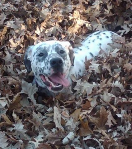 A white dog with black spots, black ears and a black nose with her pink tongue hanging out to the side and dark almond shaped eyes laying down outside in dried leaves.