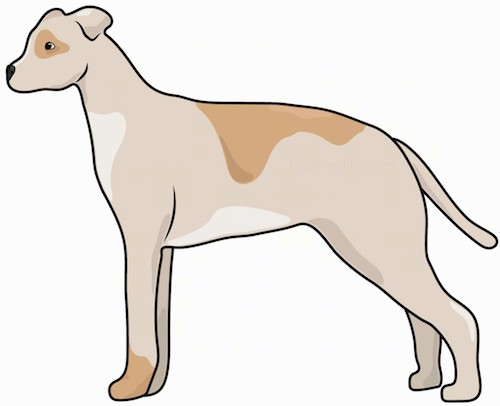 Side view of a brown, tan and white dog with a thick body and a small head with small rose ears and a long tail standing.