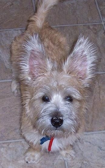 View from the top looking down at a scruffy but soft looking tan dog with wide round dark eyes and a black nose standing in a kitchen looking up. The dog has a long tail and long fringe hair on his large perk ears.