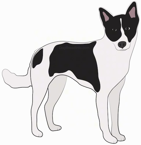 A drawing of a white and black dog with perk ears, a black nose, black round eyes and a long white tail standing up looking forward.