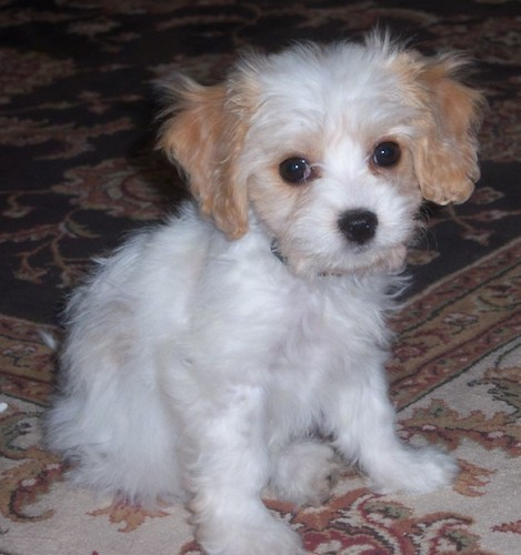 A soft coated, white with tan puppy with a white body, tan ears that hang down to the sides, wide round dark eyes and a black nose sitting on an oriental rug looking forward.