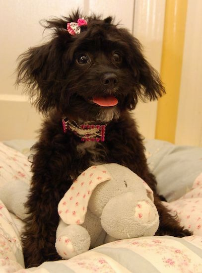A small, wavy coated black dog with white on her chest and chin with wide dark eyes, a bow in her top knot, a bling pink and silver collar, ears that hang down to the sides with extra hair on them with a pink tongue showing sitting on a person's bed with a stuffed toy between her front legs.