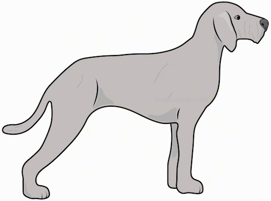 Side view drawing of a big light gray long, wiry looking dog with a long tail, long legs and ears that hang down to the sides standing up.