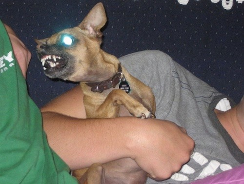 A small tan dog with a black muzzle and large perk ears in the arms of a person in a gray shirt who is laying on a couch. The dog is turned and bearing his teeth at a second person who is wearing a green shirt next to them.
