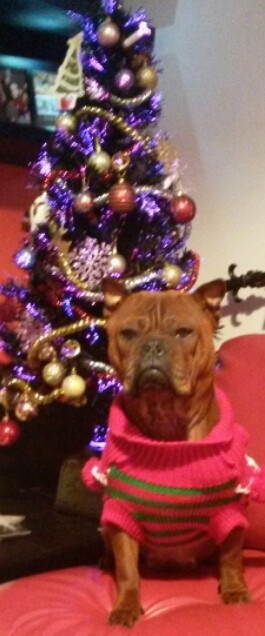 A shorthaired, wide, thick bodied dog with extra skin and wrinkles, slanty eyes, small perk ears, a square darker muzzle, black nose wearing a hot pink sweater with green stripes sitting down in front of a christmas tree on a red leather chair.