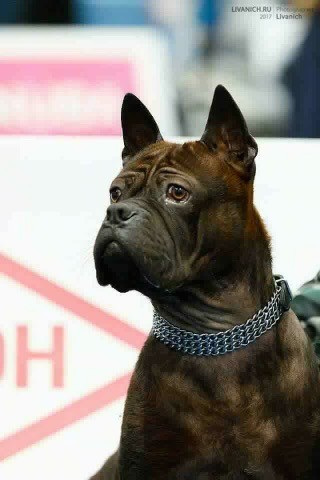 Close up head shot of a  well muscled dog with extra skin and wrinkles, small perk ears that stand up to a point, a black nose, dark brown eyes, a square muzzle, a bully looking round head sitting down in front of a white sign at a dog show wearing a silver chain link collar that is thick with many wide links sitting down looking to the left.