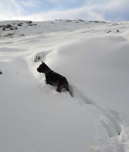 A thick, wide, perk earred dog with a square head and perk ears standing in deep snow.