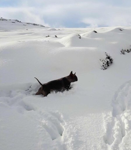 A short haired wide, thick dog running in deep snow up a hill.