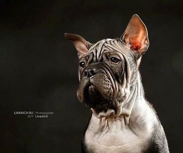 Front side view head shot of a wide chested gray puppy with extra skin and a lot of wrinkles, dark almond shaped droopy eyes and ears that come to a point and stand up in the air.