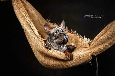 A gray puppy with a lot of extra skin and wrinkles with very short hair, perk ears and large paws laying down in a hammock looking to the right.