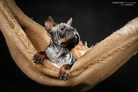 A gray puppy with a lot of extra skin and wrinkles with very short hair, perk ears and large paws laying down in a hammock looking up in the air. The pup has his front large paws hanging over the edge.