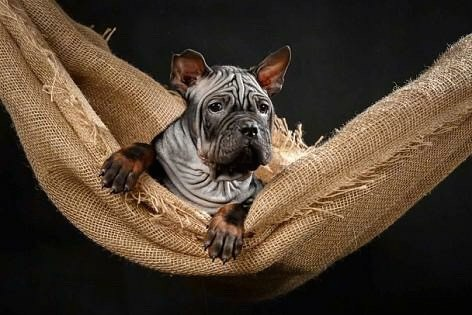 A gray puppy with a lot of extra skin and wrinkles with very short hair, perk ears and large paws laying down in a hammock looking forward with his front paws hanging over the edge. The pup has dark eyes, a square muzzle and a black nose.