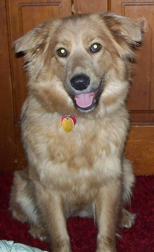 A fluffy, thick coated, tan, happy looking dog with small ears that fold down and out to the sides, a black nose and wide round eyes sitting down in front of a brown cabinet on a red carpet inside of a house.