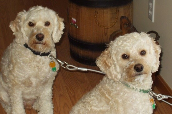 Two tan, wavy coated, soft looking dogs with round wide brown eyes, brown noses and ears that hang down to the sides of their heads sitting down inside a room on a hardwood floor with a wooden barrel behind them.