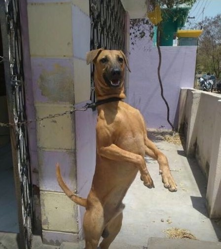 Front view of a brown dog wearing a black collar tied up with a chain standing on its hind legs with its front paws in the air. The dog has small v-shaped fold over ears, a black muzzle with a black nose and a long tail. There is a purple and yellow wall behind it. The words Name: Tiger, age 1 year n 4 months, owner: KR Prakash, place: Chennai (pammal), ph: 9962798864 is overlayed on the bottom of the image.