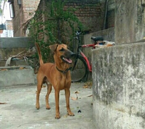 Front side view - A brown dog with a long black muzzle and a black nose with small v-shaped fold over ears and a long tail that is being held up in the air standing on concrete next to a concrete wall. There is a bicycle behind it.