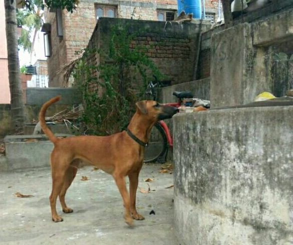 Side view - A brown dog with a long black muzzle and a black nose with small v-shaped fold over ears and a long tail that is being held up in the air standing on concrete next to a concrete wall. There is a bicycle behind it. The dog is wearing a black collar.