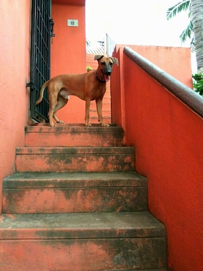 A large breed brown dog with a black muzzle, black nose and black ears that fold over to the front in a v-shape and a long tail standing at the top of an outside stairway that is painted a rose red color.