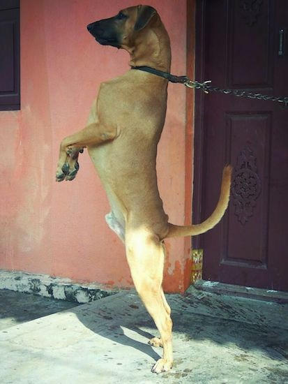 Side view - A brown dog with wide ears that fold over to the front, a long black muzzle and a black nose and a long tail standing on his hind legs wearing a black collar that is attached to a chain on concrete in front of a pink concrete wall.