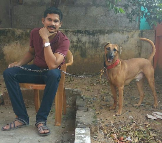 A man in a maroon shirt sitting down on a brown wooden chair outside on concrete with a brown dog that has small but wide ears that are folded over to the front, a long tail, a black muzzle, dark eyes and a black nose standing up on a raised dirt garden bed outside under a tree.