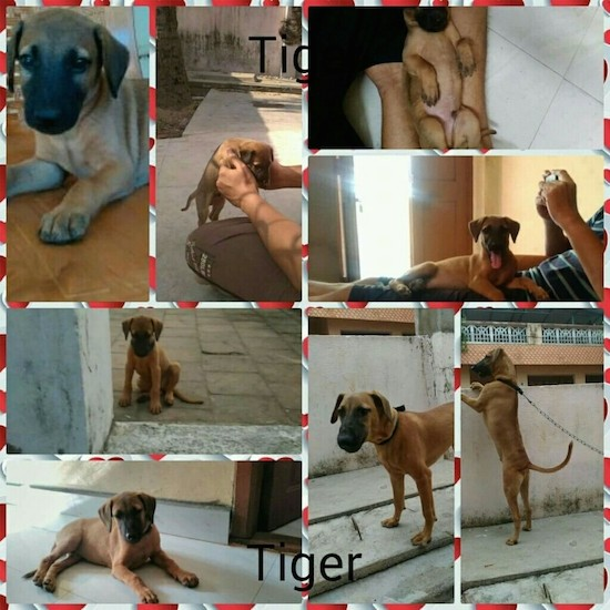 A collage of 8 pictures of a brown dog with a black muzzle from puppy to an adult dog. There is a red and white striped border around each picture.