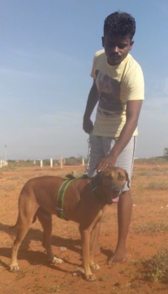 A man in a yellow shirt and gray shorts standing outside with a taall brown dog with darker drop ears and a black nose and a black muzzle with a long tail wearing a green harness standing in front of him.