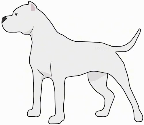 A side view drawing of a white, muscular dog with a large head and small cropped ears, a long tail a dark nose and dark eyes standing and looking to the left.