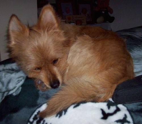 A little reddish brown dog  with a black nose and perk ears curled up on blankets sleeping.