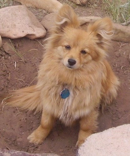 A small, fluffy, long haired, tan dog with perk ears, and a little snout that looks like a fox sitting down in dirt.