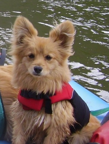 A little tan dog with a thick coat and large perk ears that stand up wearing a life vest while sitting on a boat in the middle of open water.