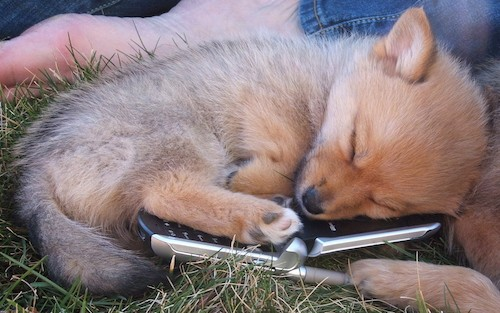 A little tan puppy that looks like a fox curled up in grass sleeping on top of a flip phone.