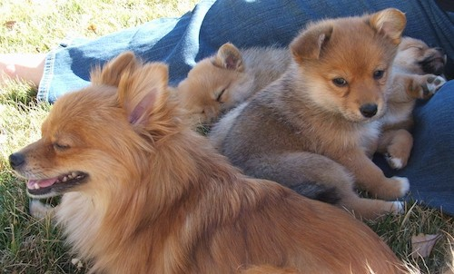 An adult Pomeranian dog sitting down in grass with three little tan puppies behind her who are laying on a person wearing jeans legs.