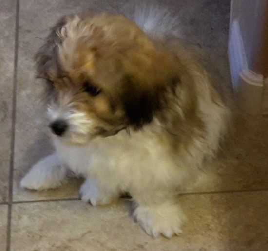 A fluffy soft looking small tan, white and black dog sitting on a tan tiled floor looking to the left. His ears are soft and hang down to the sides.