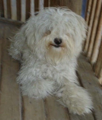 A longhaired, wavy coated, soft looking white dog with hair that covers his eyes, a black nose and black lips laying down on a wooden deck outside. The dog has so much hair on his ears that they blend with the head.