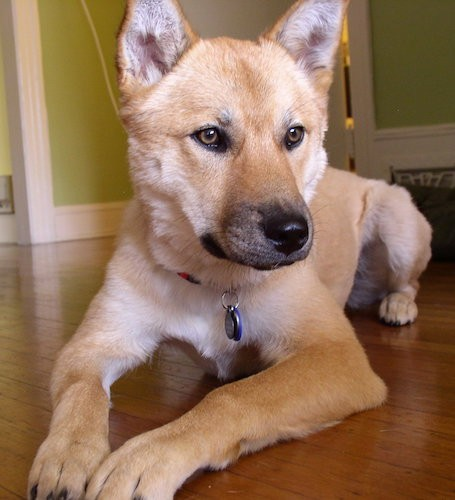 Front view - A tan coydog with perk ears, brown eyes and a black nose with black on the tip of her muzzle laying down on a hardwood floor.