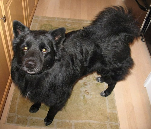 View from the top looking down at a solid black dog with round eyes, a black nose, small perk ears, a thick coat and a tail that curls up over his back with long hair fringing off of it standing in a kitchen next to a wooden cabinet.