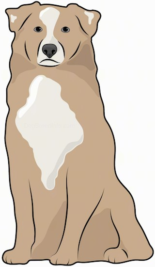 Front view drawing of a brown, tan and white thick coated dog with small fold over v-shaped ears and a blaze of white down her brown head with a patch of tan and white on her chest and on each ear.