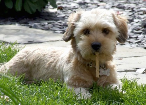 A little dog with short legs and a soft fluffy tan coat with small ears that hang down to the sides chewing on a rawhide chew while laying in grass next to a walkway.