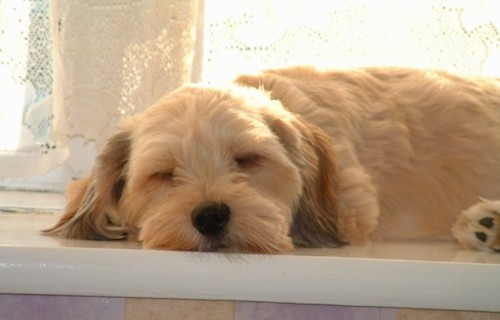 Front view of a small breed tan dog sleeping on a window sill.