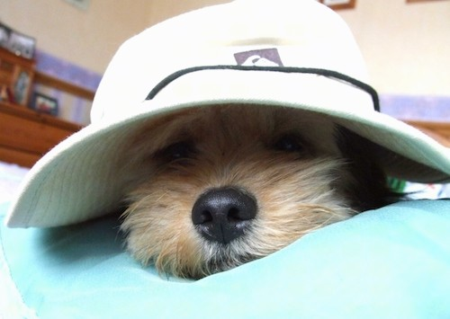 A small tan dog wearing a white rim hat sleeping on a green blanket inside of a house.