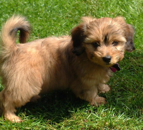 A fluffy little brown puppy with small soft drop ears, dark eyes, a black nose, a tail that curls up over her back standing in grass.