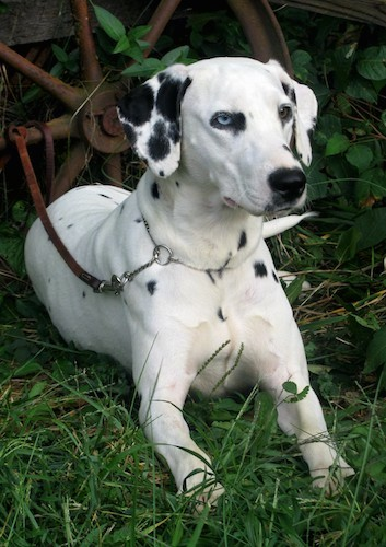 A large white dog with black spots, one blue eye and one brown eye, a black nose and soft ears that hang down to the sides laying down in grass with her leash attached to an old rusty metal wagon wheel.