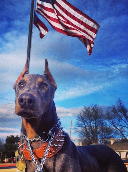 Front view of a large breed short haired blue with tan dog that has a gray nose and ears that are cut to a point wearing a chain collar and a large leather spike collar standing outside with an American flag behind him.