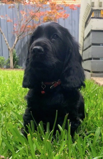 Front view of a shiny black dog with long wavy ears with droopy looking eyes and a large black nose with a square muzzle sitting in grass wearing a red collar.