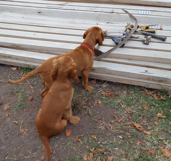 Two reddish brown puppies in front of long 2 x 4 pieces of wood stacked in a pile with tools on top. The puppies have short coats, one has longer wavy fur on its ears and the other has short fur on its ears.